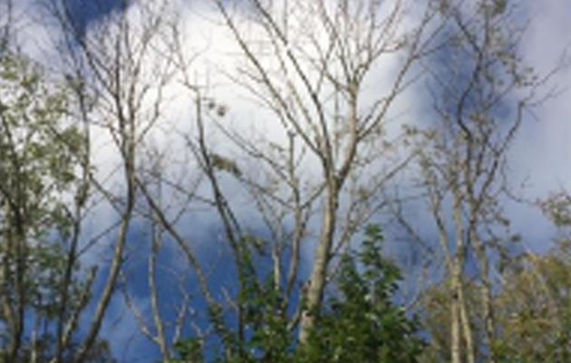 Replacing Ash Trees