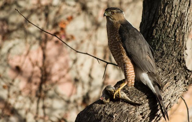 Waggoner's Gap Hawk Watch