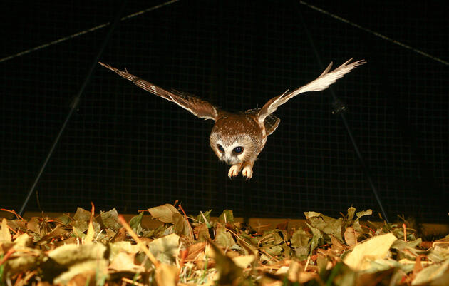 Human Noise Robs Owls of Their Ability to Hunt