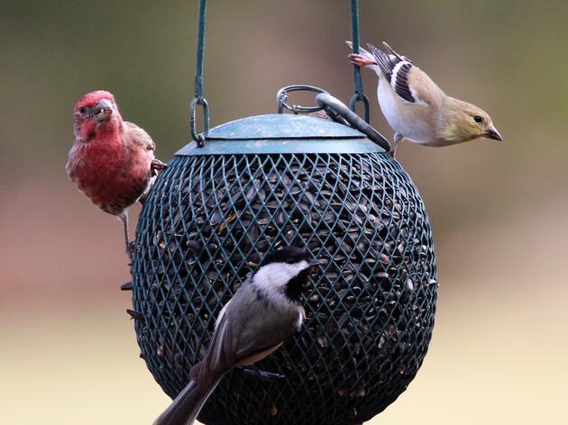 Latest Updates on Songbird Illness in the Region