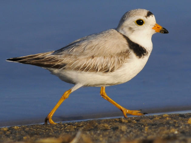 Nesting Piping Plovers