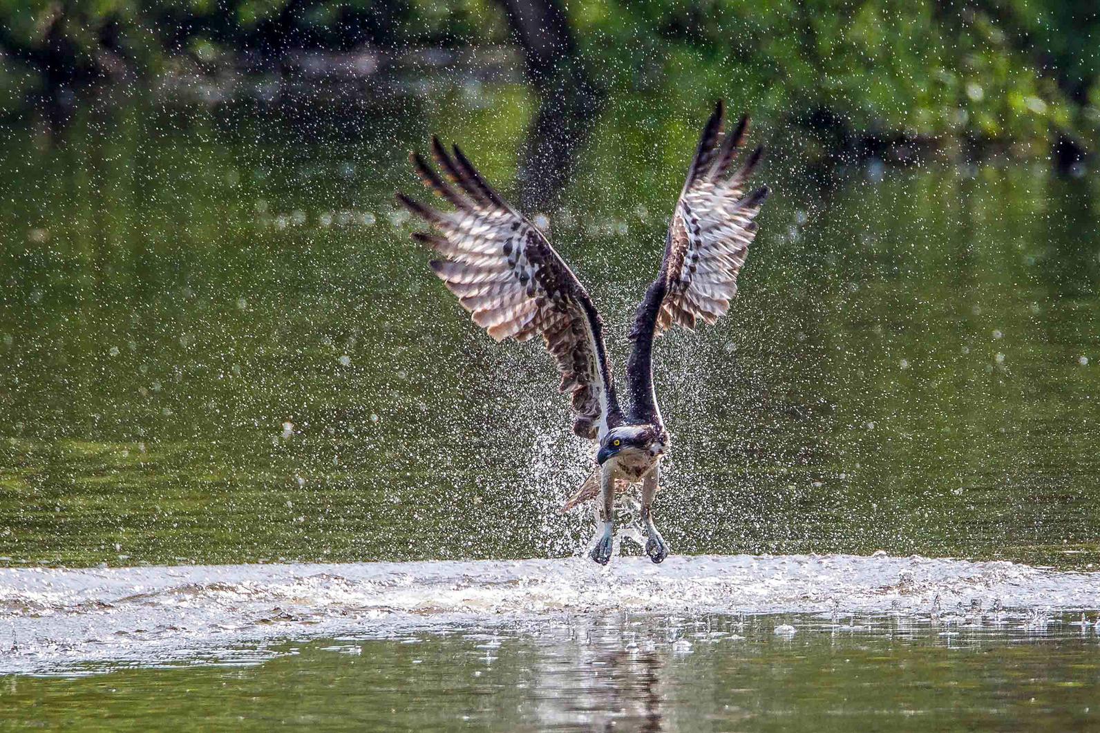 Osprey. Photo: Kurt Wecker/Audubon Photography Awards