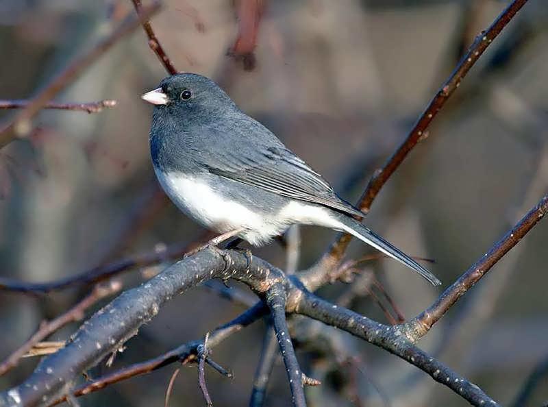 Cómo identificar 20 pájaros de patio de invierno en sus comederos: Vista aérea (fotos) | cleveland.com
