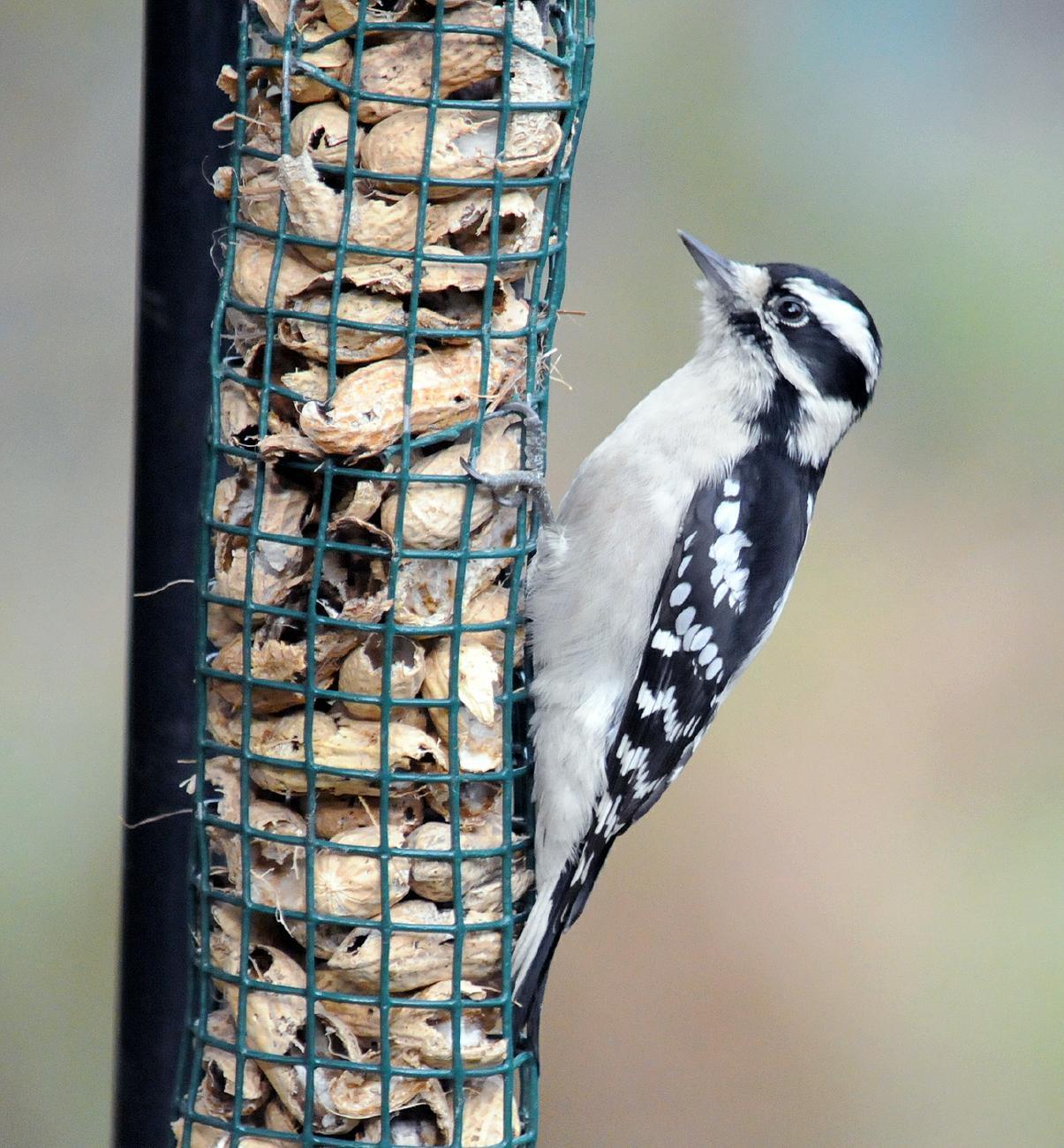 Aves de Filadelfia -