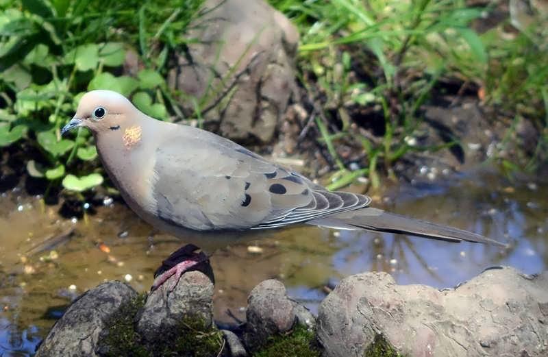 Aves comunes del área de la Bahía de San Francisco: sfbaywildlife.info