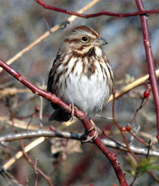 Common GBBC Birds | Audubon Pennsylvania